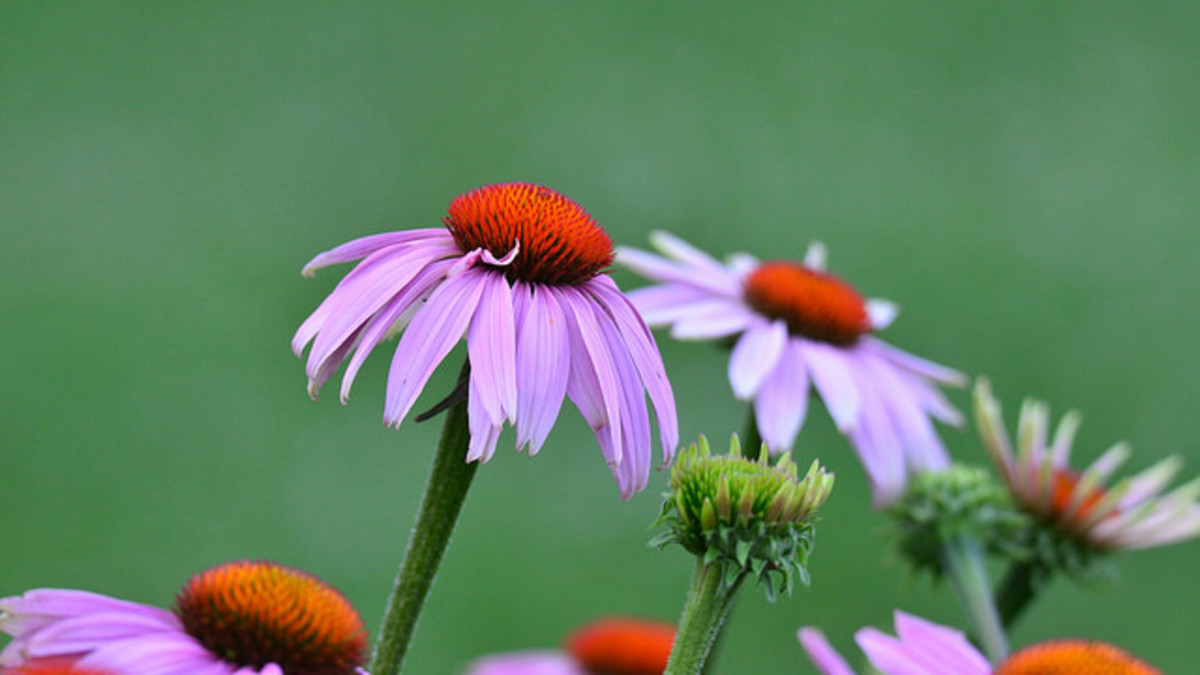 Echinacea blooms are quite beautiful, and they do wonders for resolving infections from toothaches.