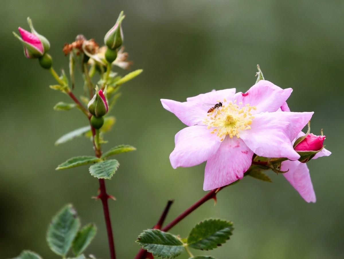 The California wild rose, or Rosa californica
