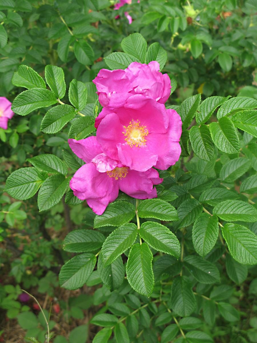 The beautiful beach rose (Rosa rugosa) in bloom