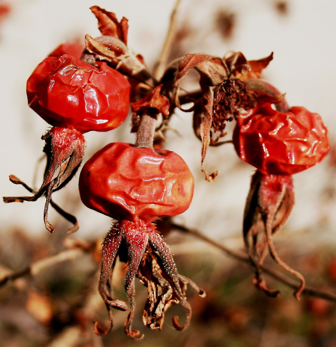 Rose hips late in the season