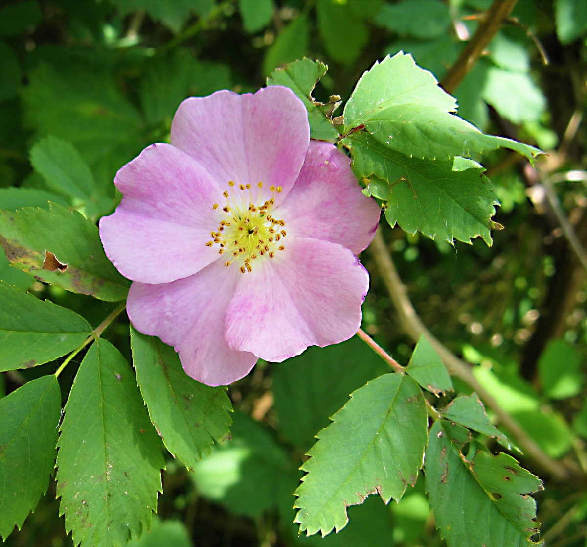 A Nootka rose in bloom; the ovaries of the flowers become fruits, or  rose hips