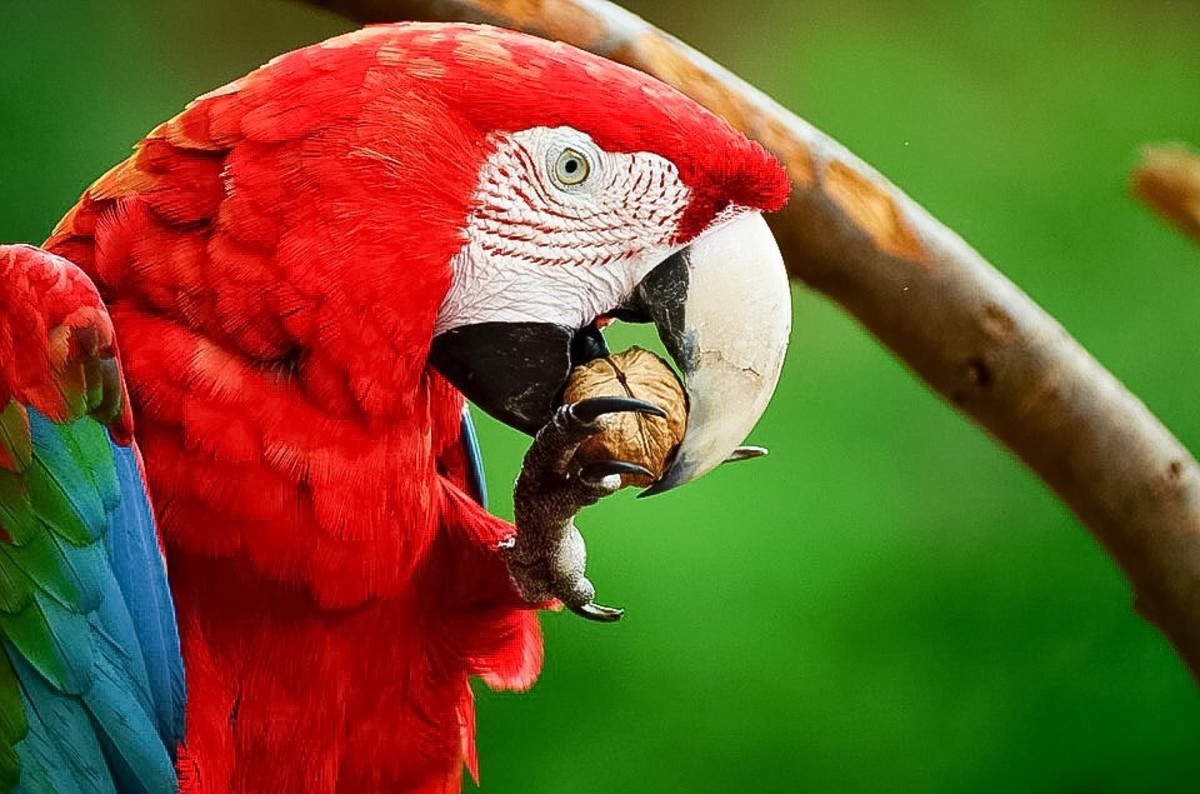 Wild scarlet macaws eat clay.