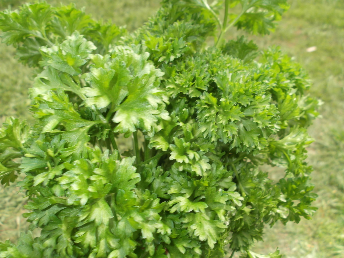 Parsley has many advantages, one of them being that they grow more easily than prunes, another natural laxative.