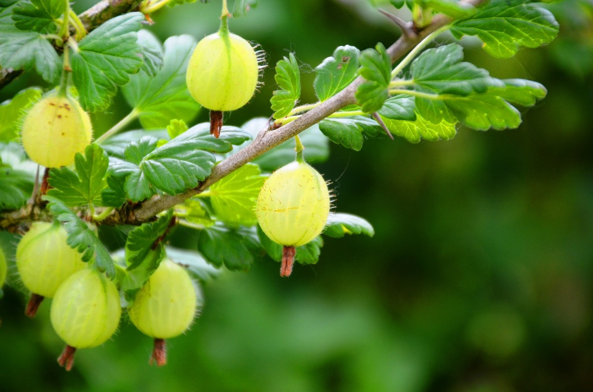 Indian gooseberry, or amla, one of the main ingredients.