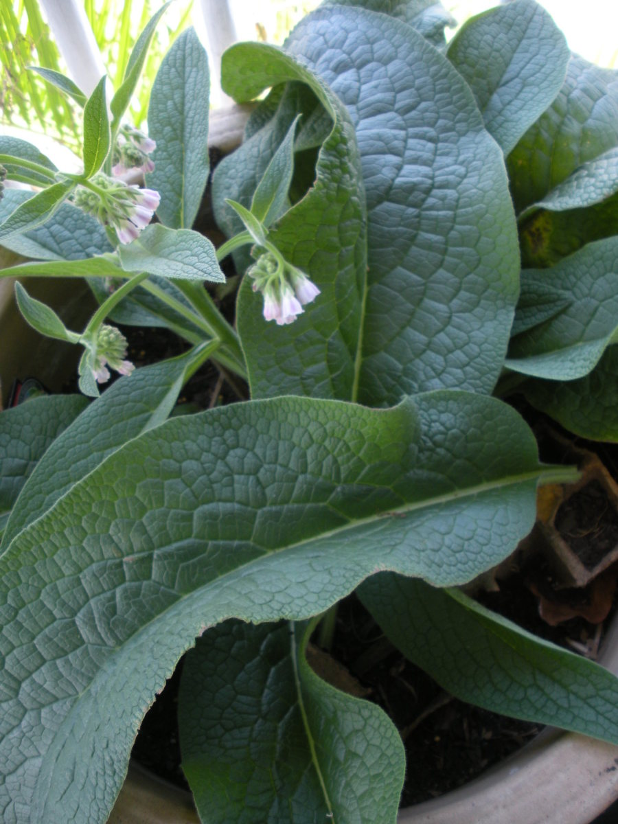 Comfrey grows deep in the ground but equally well in pots. Use it as mulch or liquid fertilizer.