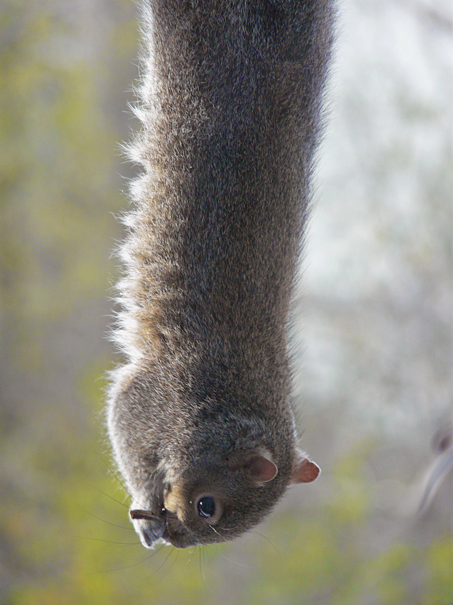 This gymnastic squirrel ran up a brick wall, crossed balcony railings, pulled himself up to bite some seed block, and dropped to a dramatic hanging position to enjoy his dinner.  Now that's determination in the face of challenge!