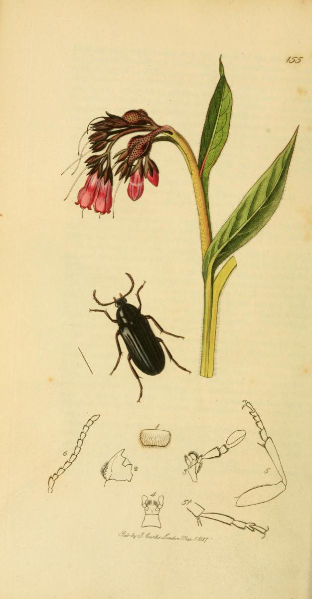 the different medicinal uses of comfrey Comfrey root has been used as a traditional medicinal plant for the  sorts of  other back pain, but admits that the results are relevant and.