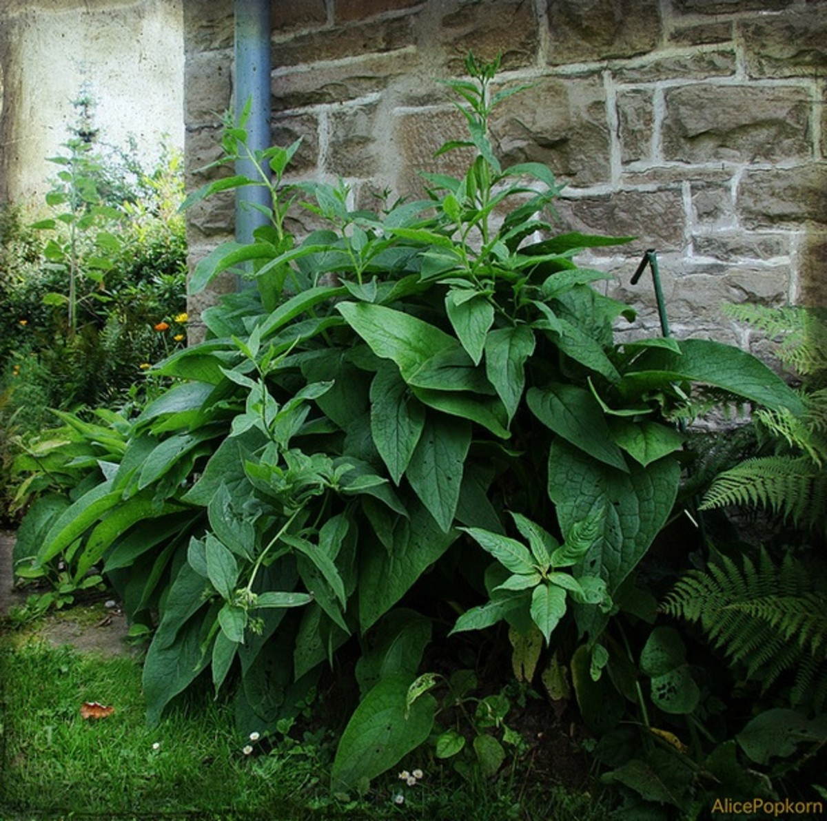 the different medicinal uses of comfrey Medicinal uses of comfrey - allantoin takes care of health problems - best if a good portion of root is used to start a comfrey plot comfrey will expand - plan plenty of room for it the alkaloids individually is different from that of the.