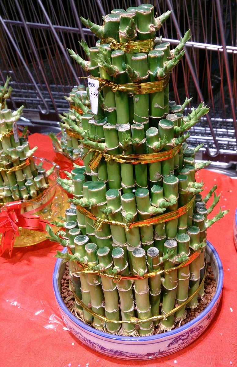 Often sold during Chinese New Year, table top bamboo is considered to bring good luck.