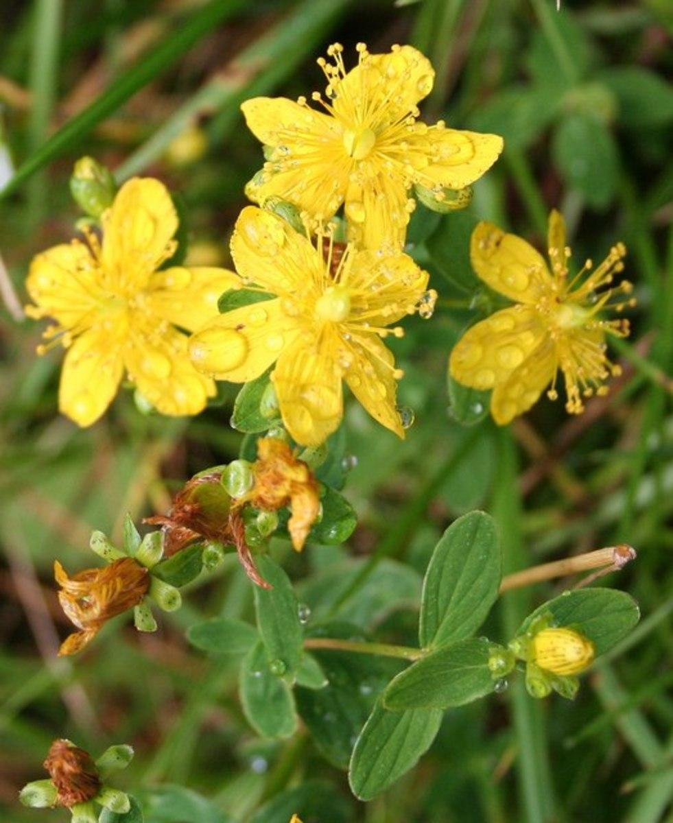 St. Johnswort flowers