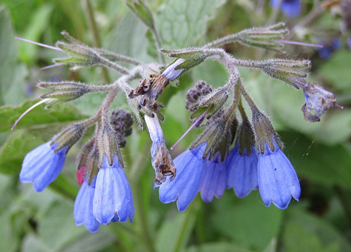 Comfrey flowers