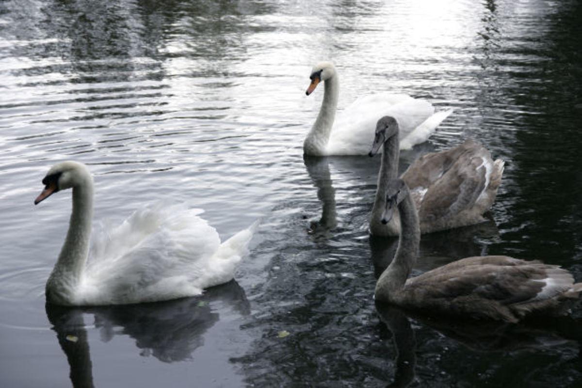 Swanning around...