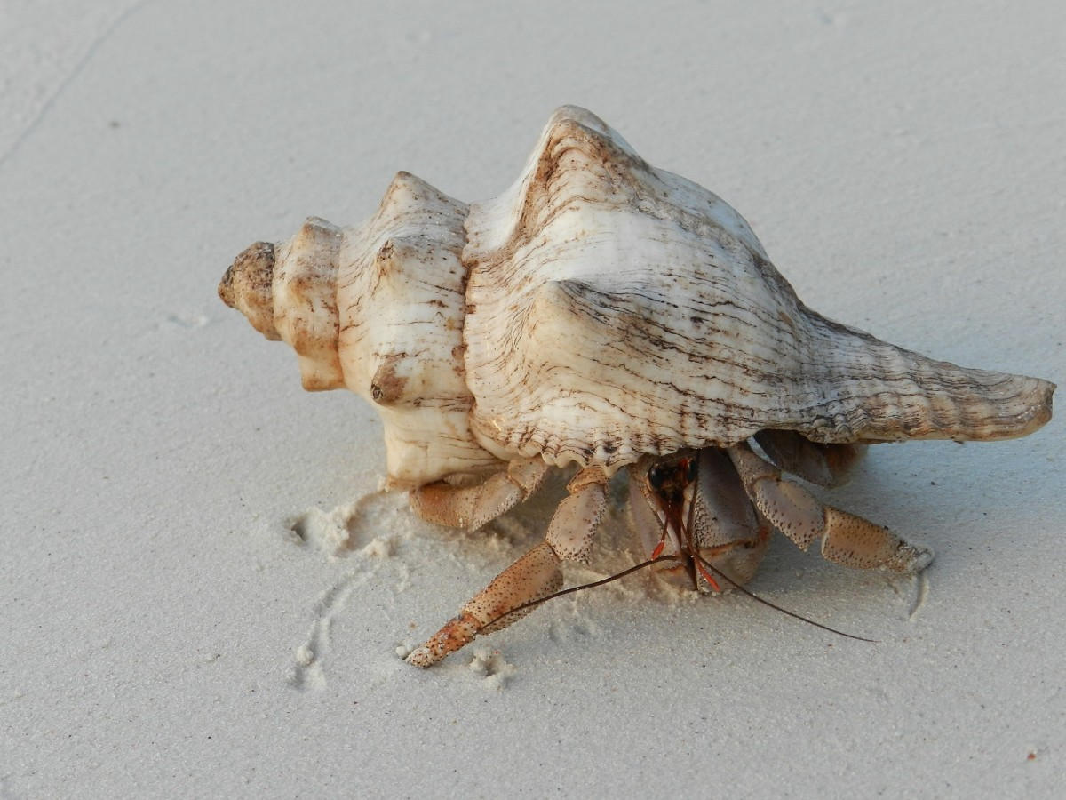 Hermit crab moving along within his portable shell.