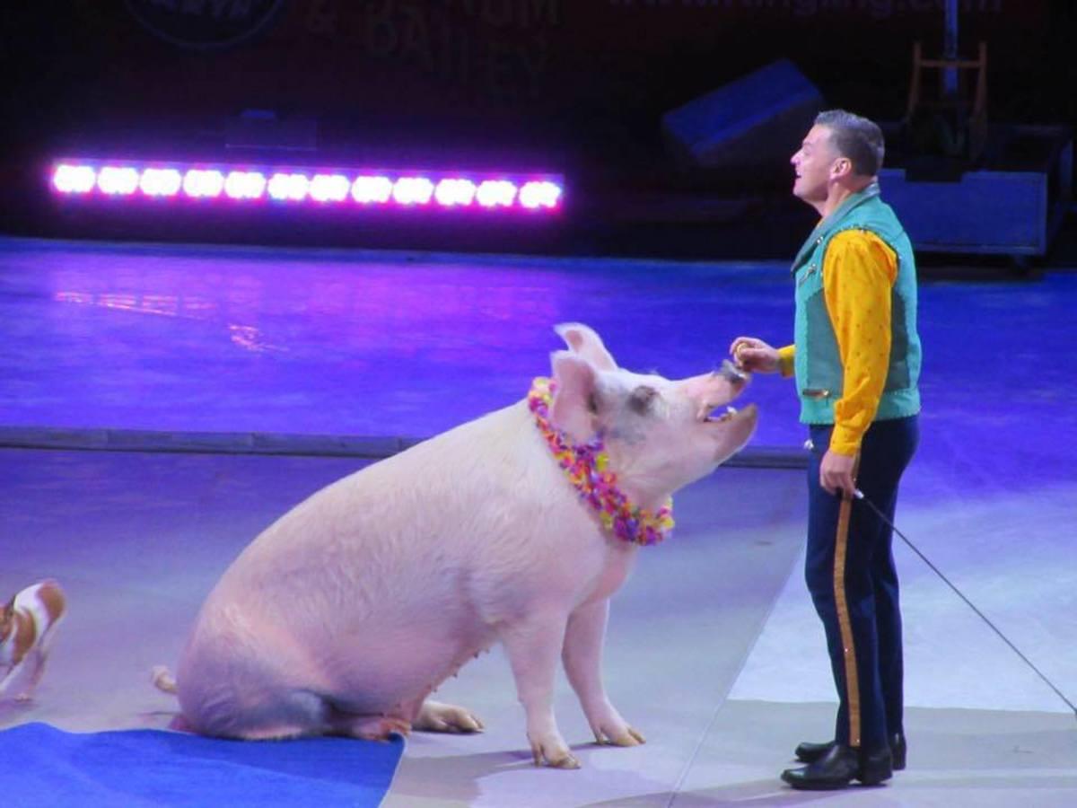 This little piggy ...
