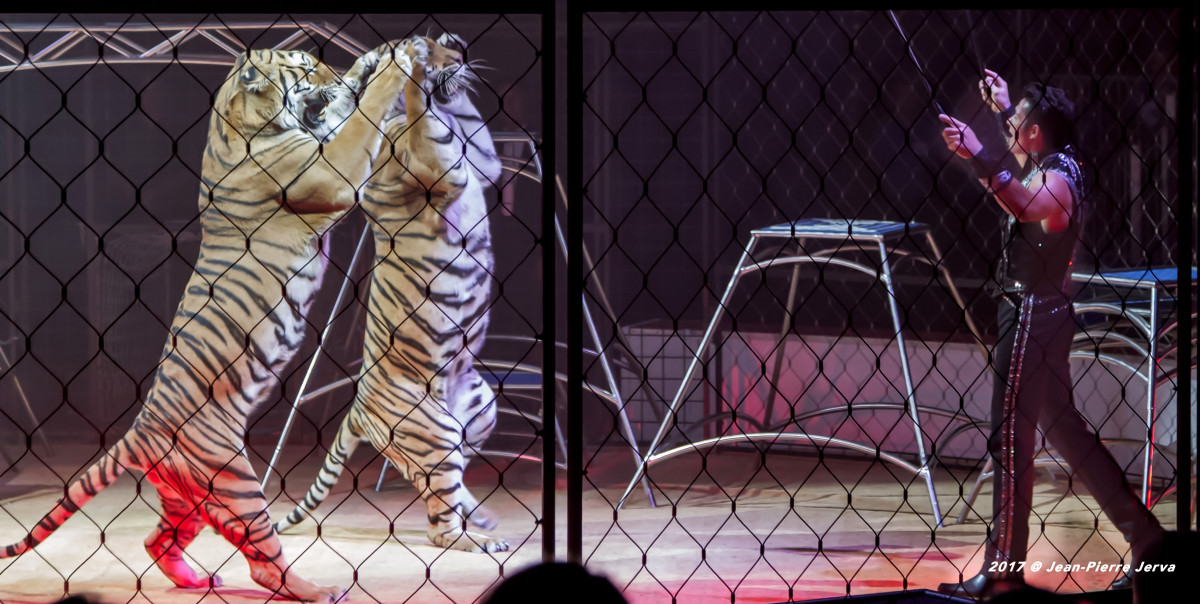 Alexander Lacey's tiger walk. Lille Circus Festival; Lille, France