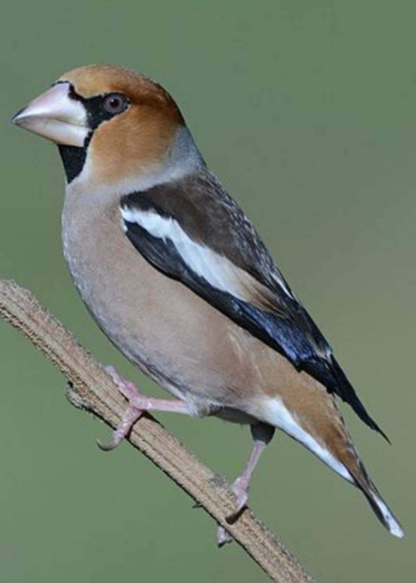 In 2017 I was lucky enough to see a couple of Hawfinches on my local patch at Elmdon Park. Seeing one of these more than made up for all the frustrating days I'd had previously.