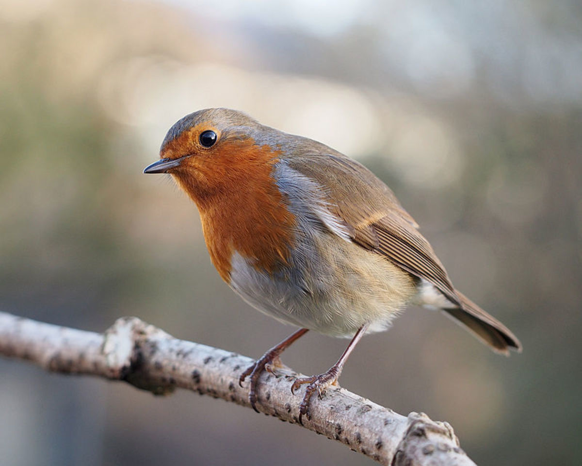 European Robins are among the commonest of all British birds, so by getting to know them, there's less chance of mistaking it for something like a Red-breasted Flycatcher.