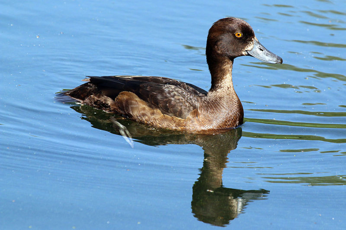 Some female Tufted Ducks possess a white facial 'blaze' which can lead to misidentification as a female Greater Scaup.