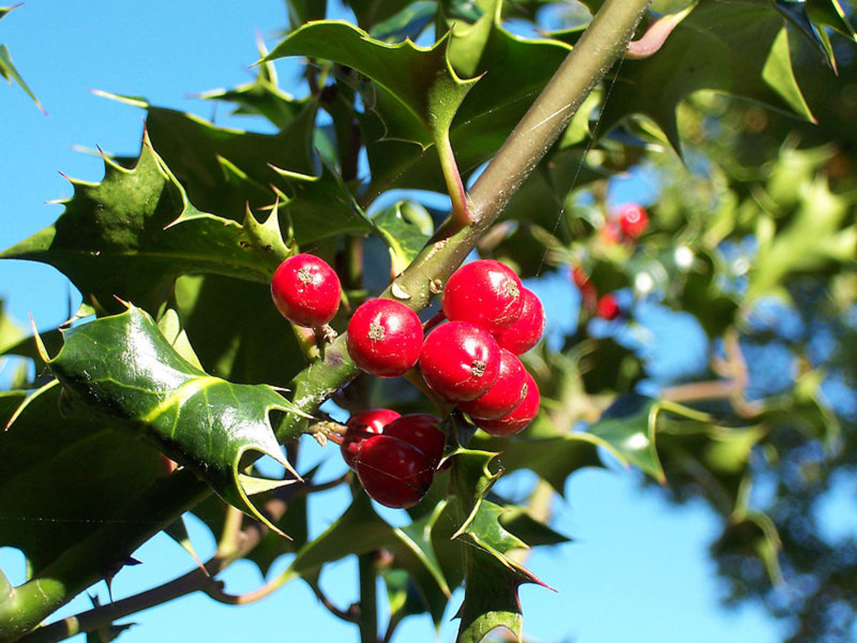 Planting berry producing trees such as Holly is an ideal natural way of attracting birds into your garden.