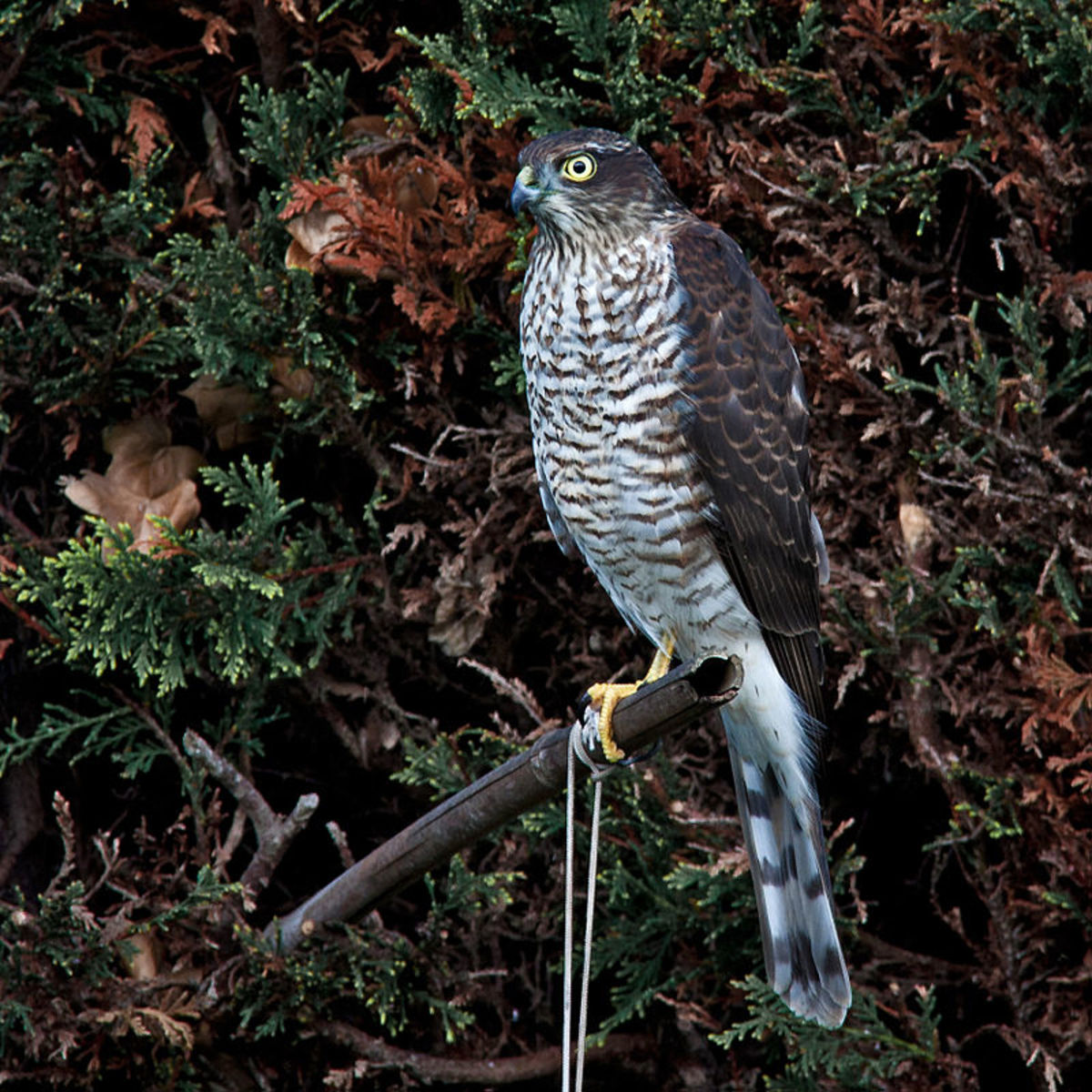 Sparrowhawks are a hazard but are also the sign of a healthy garden ecosystem as their presence signifies a good number of available prey.