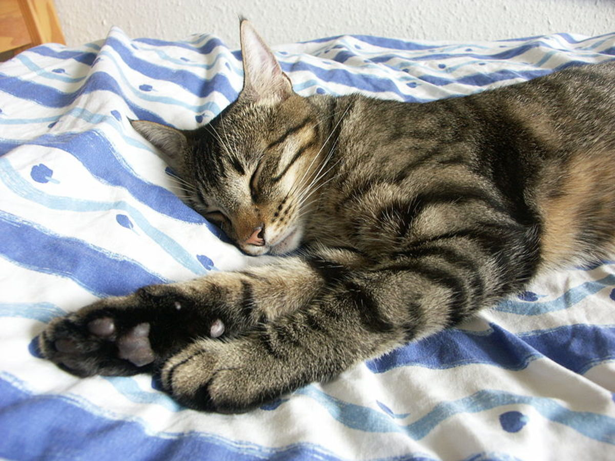 A young male mackerel tabby stretches in his sleep.