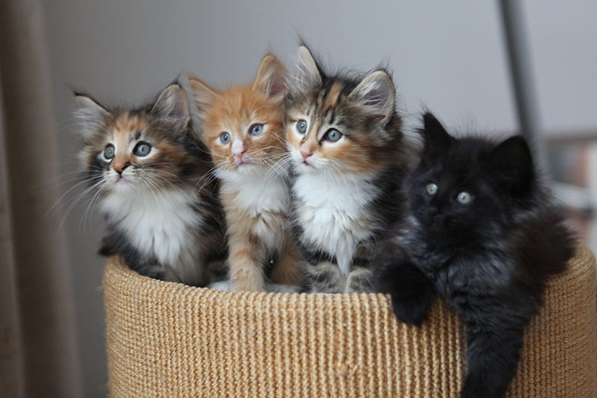 Four lovable fluffy kittens provide inspiration for writing poems.