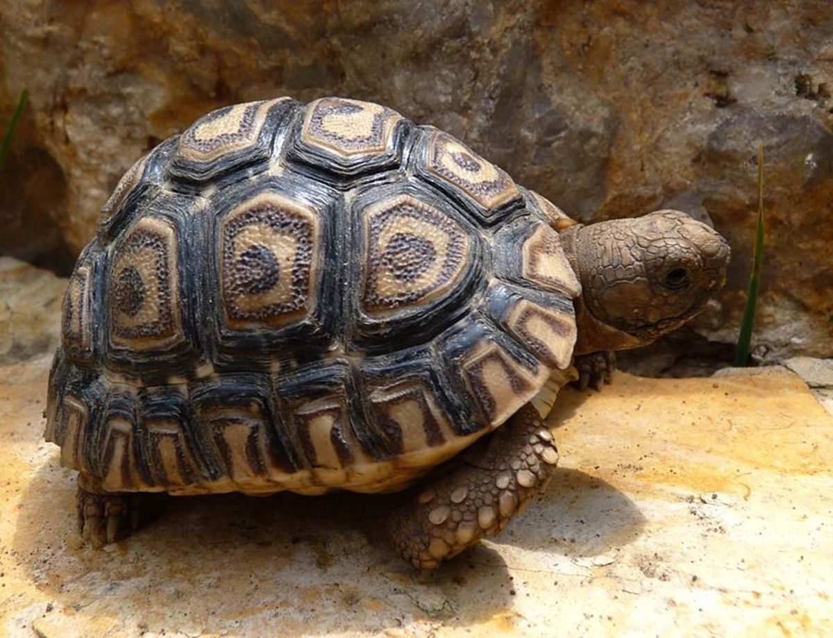Bringing Home Your Baby Leopard Tortoise
