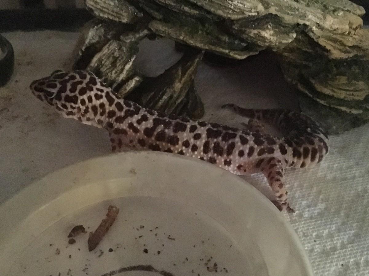 Help! My Gecko Won't Eat!