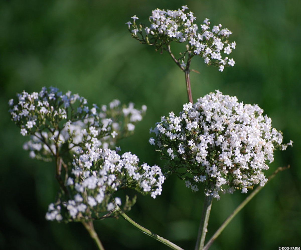 Valerian's flower smells delicious, but the root can be stinky.