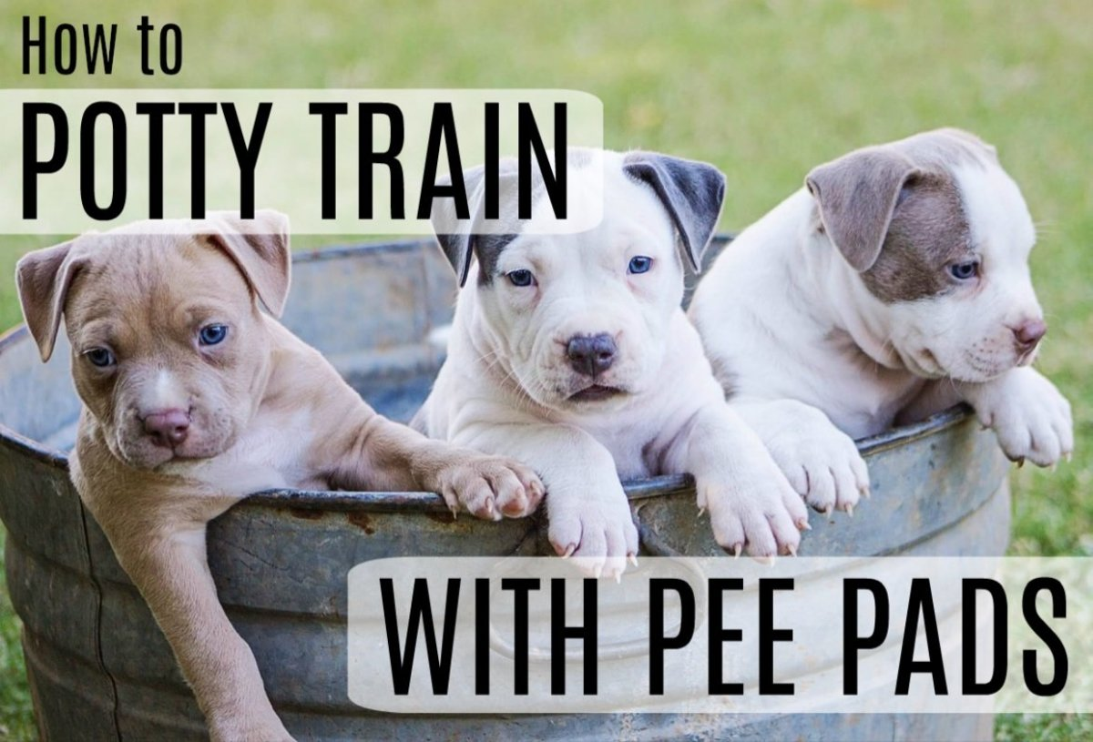 How to Potty Train a Puppy With Pee Pads: 4 Easy Steps