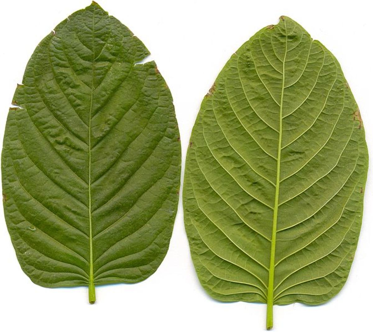 Kratom: A Safe Alternative to Prescription Medication or a Harmful Substance?