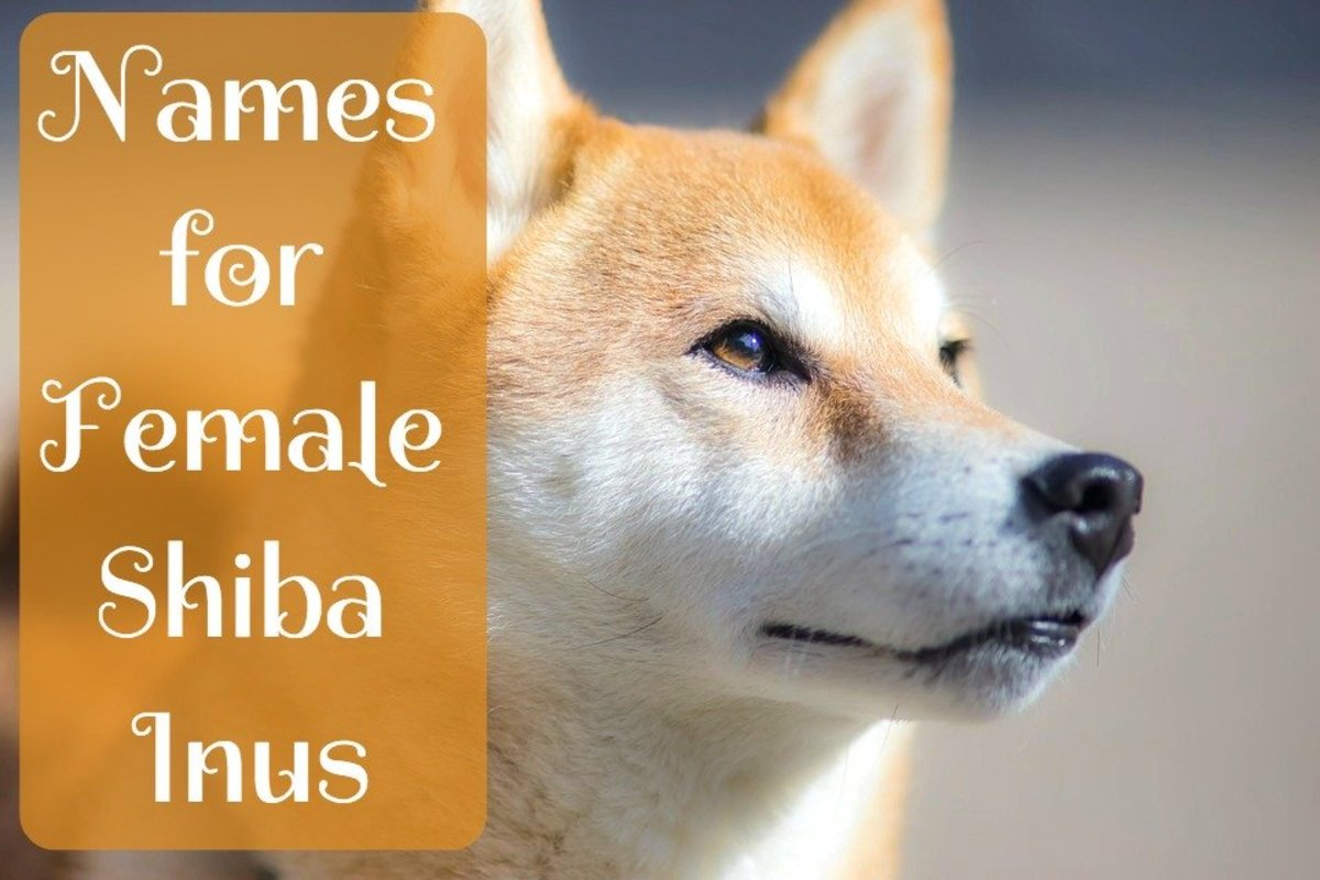 Cute and Creative Female Shiba Inu Names | PetHelpful