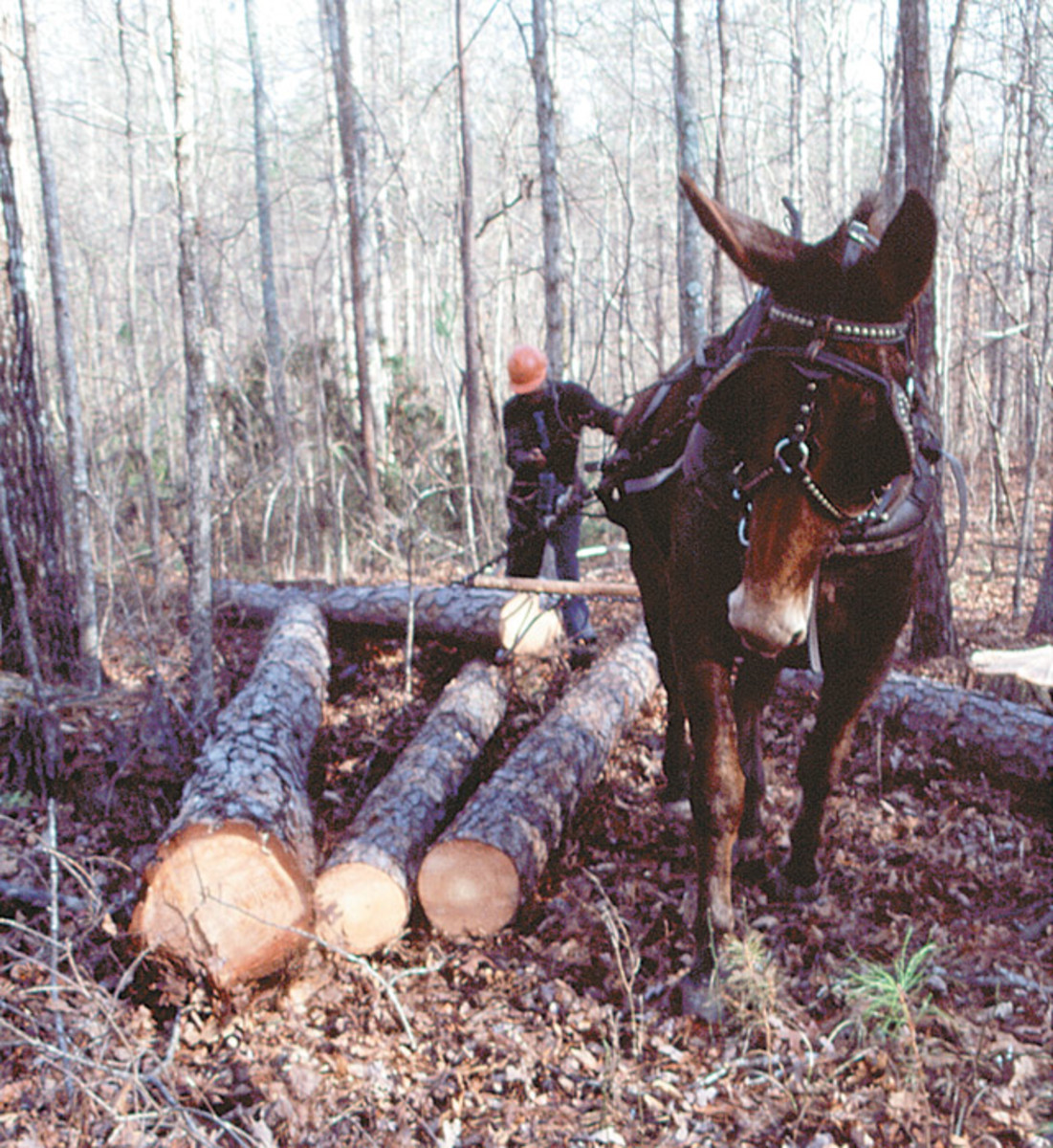 Mule pulling logs out of wooded areas then taking logs to sell them for making paper and such items.