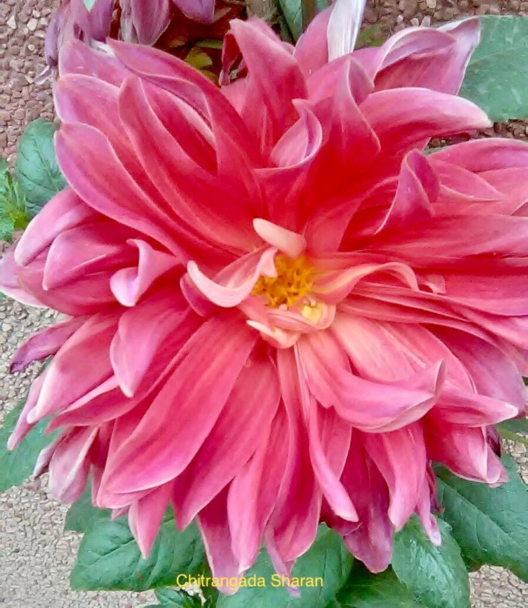 Pink is the colour of universal love and tenderness—Pink Dahlia