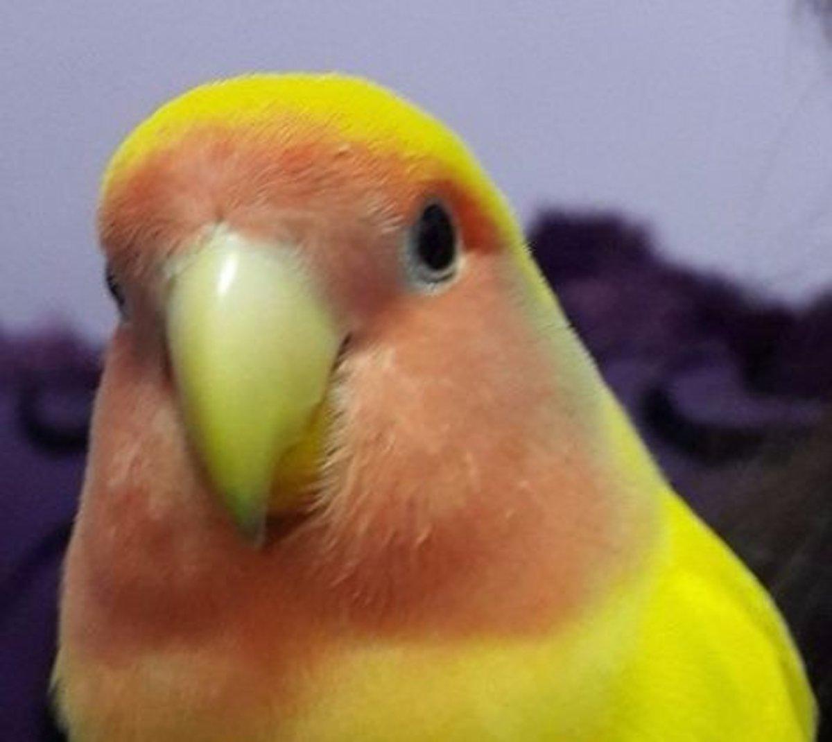 My lovebird, Mumu.
