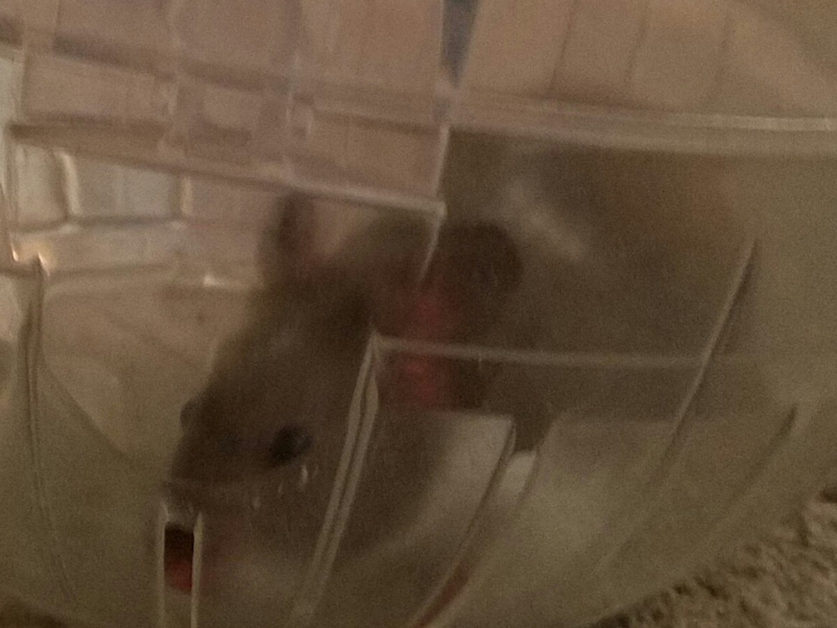 I've loved playing with my hamster, Rumi, and watching him roll around our home.