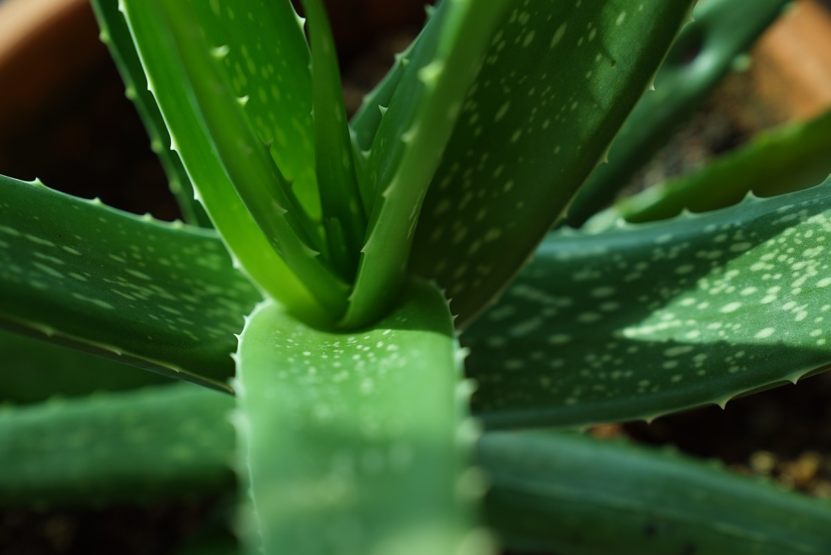 Aloe Vera, the Potted Physician