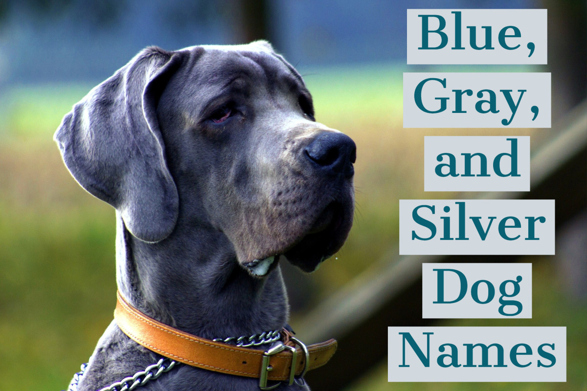 Blue dog coats can be silver to dark gray.