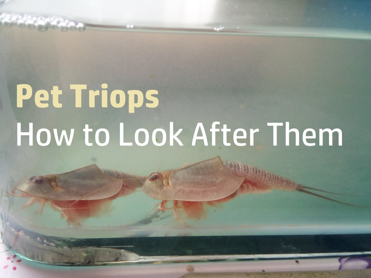 Triops Facts and How to Raise Pet Triops