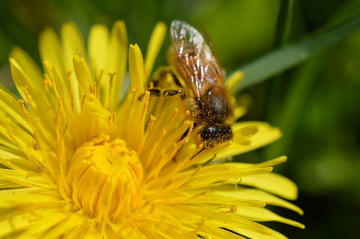Dandelion pollen is a staple for bees and other pollinators.