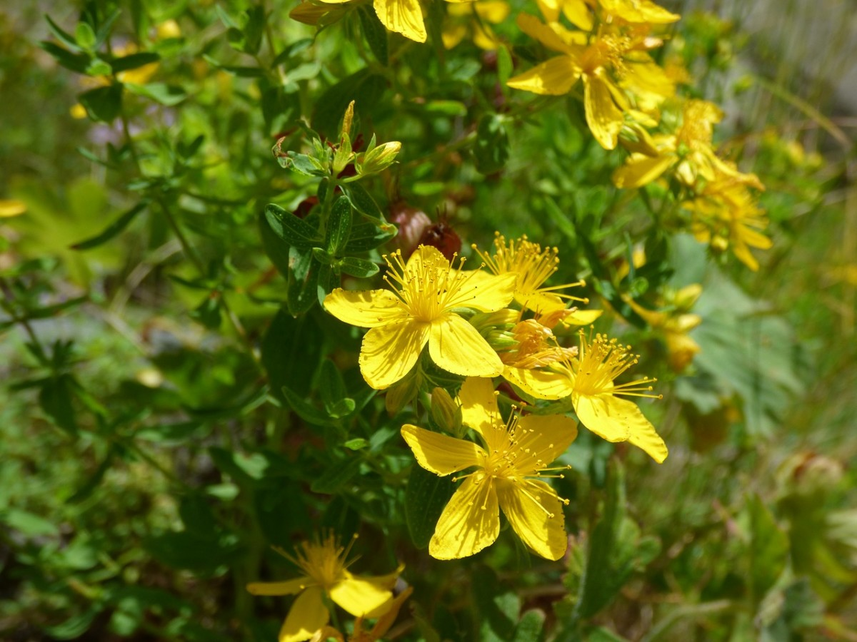 A woman came down with tuberculosis in the middle of pregnancy due to st. John's wort.
