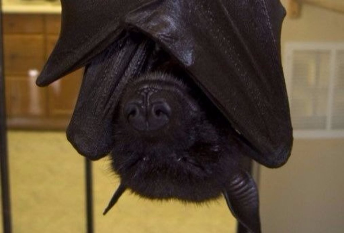 The most common species of bat that people keep as pets are fruit bats.