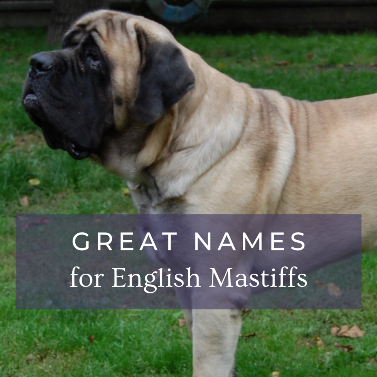 Names for English Mastiffs