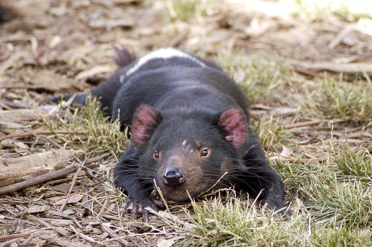 A resting Tasmanian devil