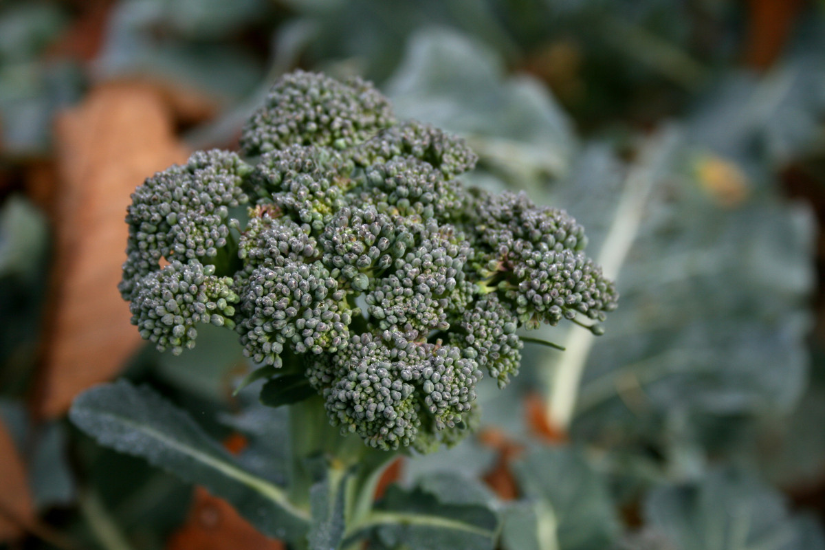 Broccoli. A plant filled with nutrients and goodies and a good source of  natural calcium.