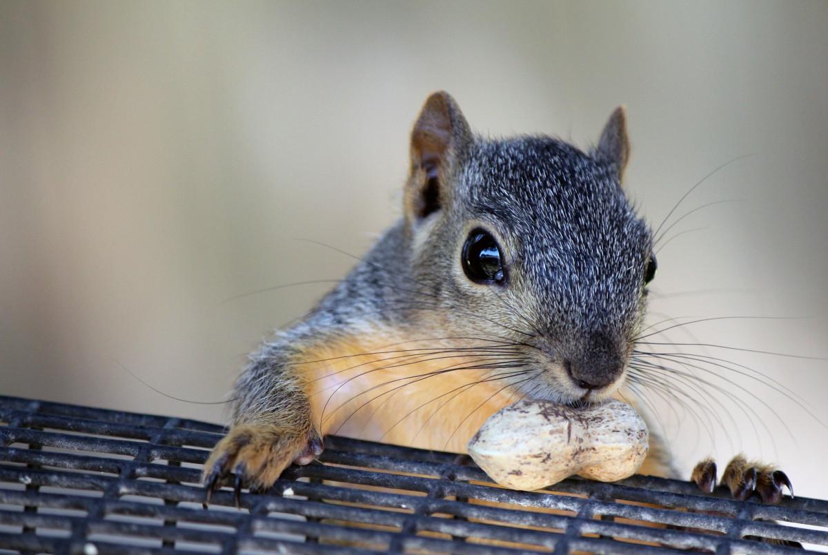 Types of Squirrels People Keep as Pets