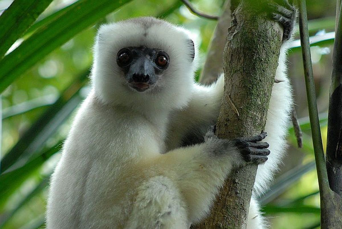"This silky sifakas lemur (Propithecus candidus)  is one of the rarest mammals on the planet.  They are known as ""ghosts of the forest"" and are found only on the island of Madagascar.  People are the greatest threat to its existence."