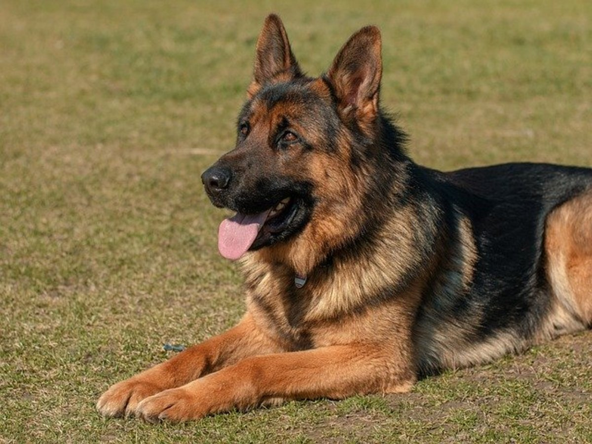 Tips for German Shepherd Dog Training