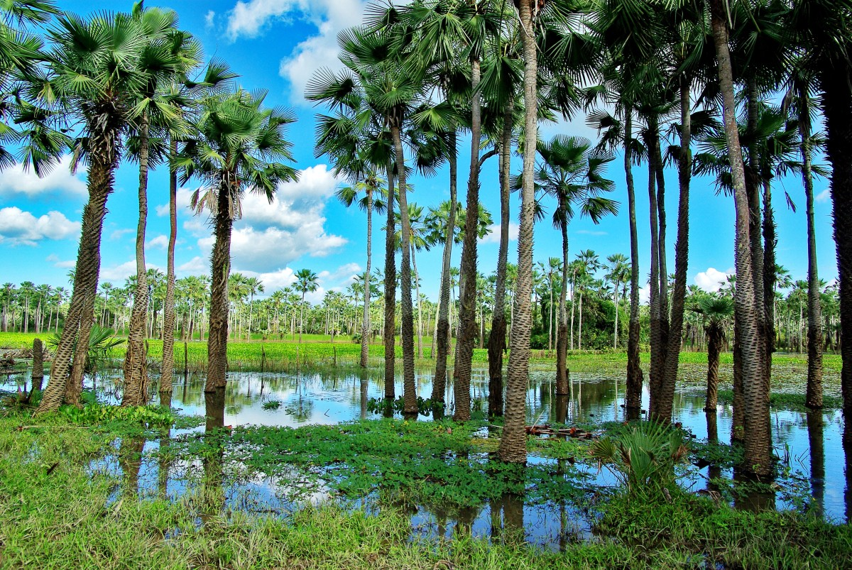 Carnauba palms