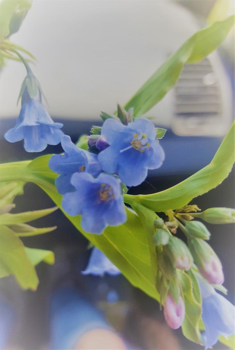Foraging for Wild Edibles: Mountain Bluebells (Mertensia Ciliata)
